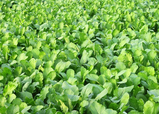 You are currently viewing Paalak ki kasht | Spinach in Pakistan | پالک کی کاشت